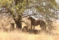 Cheetah - les 3 Mousquetaires