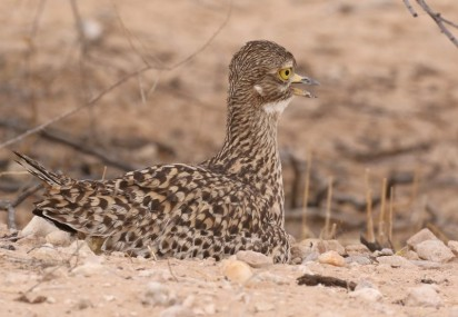 Spotted Thick-knee (Dikkop)/Oedicnème tachard