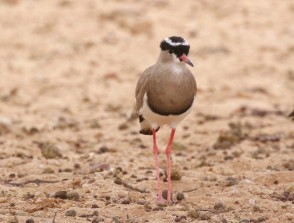 Crowned Lapwing (Plover)/Vanneau couronné