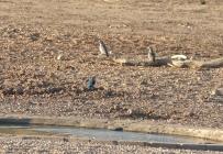 Woodland Kingfisher/Martin chasseur du Sénégal