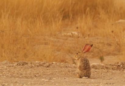 Cape Hare/Lièvre du Cape