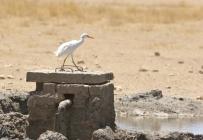 Cattle Egret/Héron garde-boeufs - Bedinkt
