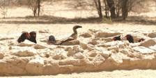 Bateleur Eagle/Bateleur des savannes+White-backed Vulture/Vautour africain