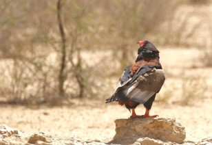 Bateleur Eagle/Bateleur des savannes