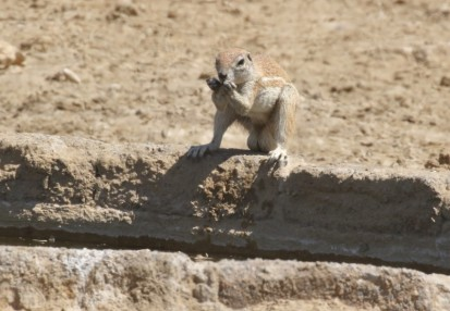 Ground Squirrel / Ecureuil fouisseur+ Dragonfly