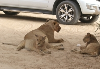 Lion à Marie se Gaat