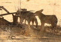 Black-backed Jackal/Chacal à chabraque + Oryx