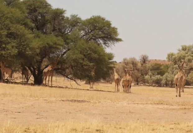 Giraffe/Girafe à Kamqua