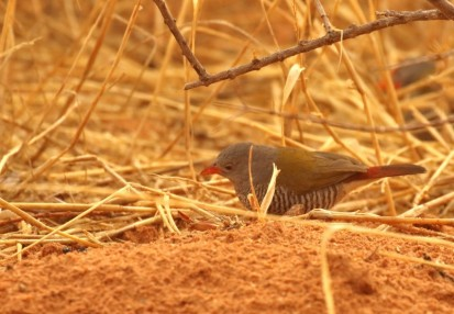 Green-winged Pytilia/Melba Finch/Beaumarquet melba