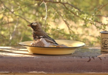 White-browed Sparrow-Weaver/Malahi à sourcils blancs