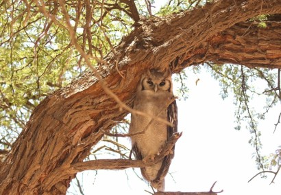 Verreaux's Eagle Owl/Grand Duc de Verreaux