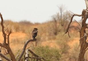 Black-chested Snake Eagle/Circaète à poitrine noire - envoyé à Trevor