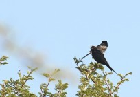 mating pair of Forktail Drongo/accouplement de Drongo brillant