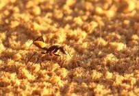 Bal-byter Ants/Camponotus fulvopilosus