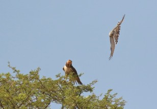 Lanner Falcon/Faucon lanier + PCG