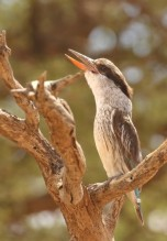 Striped Kingfisher/Martin chasseur strié
