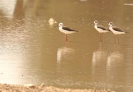 Black-winged Stilt/Echasse blanche