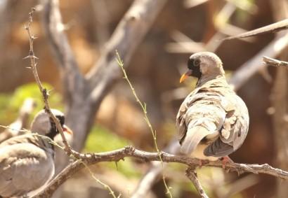 Namaqua Dove/Tourterelle masquée