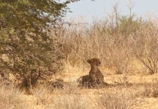 Cheetah - Hanri + 2 cubs, around Urikaruus waterhole