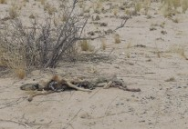 Chacal mort à Lijesdraai picnic site