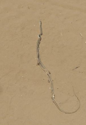 Kalahari (Karoo) Sand Snake/Psammophis Trinisalis (notostictus)