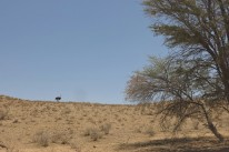 Ostrich/Autruche near Batulama