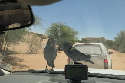 Cape Crow sur la voiture