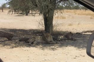 Lion à Craig Lockardt