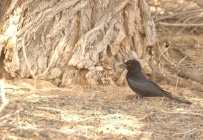 Forktailed Drongo/Drongo brillant
