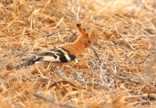African Hoopoe/Huppe d'Afrique