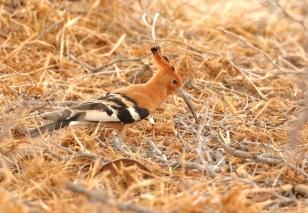 African Hoopoe/Huppe d'Afrique