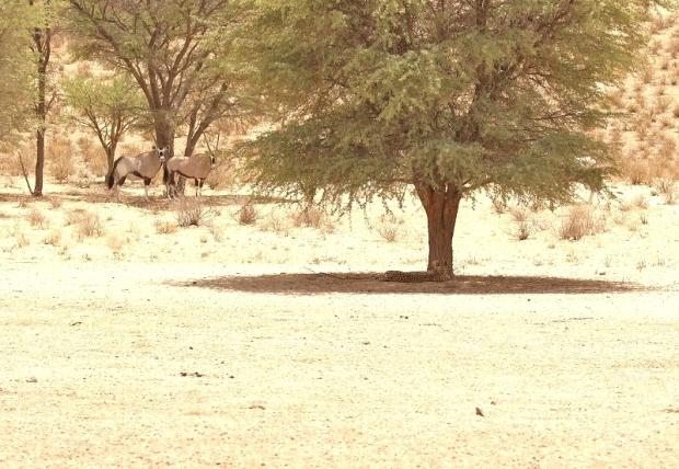 Cheetah - Fancy around Kamqua