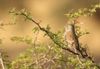 Southern Grey-headed Sparrow/Moineau Sud africain