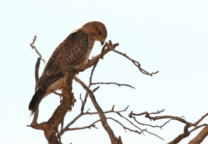 Common (Steppe) Buzzard/Buse variable