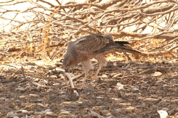 Pale Chanting Goshawk/Autour chanteur + Kalahari (Karoo) Sand Snake/Psammophis Trinisalis (notostictus)