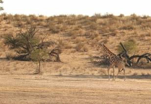 Giraffe/Girafe