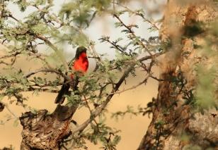 Red-breasted Crimson Shrike/Gonolek rouge et noir