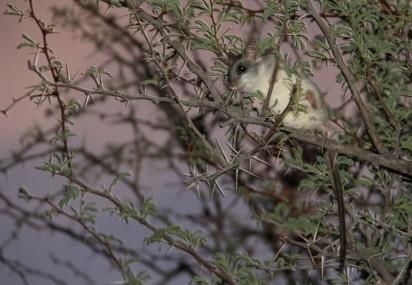 Tree Rat/Thallomys paedulcus