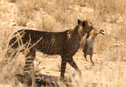 Hanri +3 cubs - cheetah
