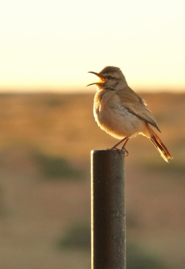 kalahari Scrub-Robin/Agrobate du Kalahari
