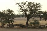 Lion - Cape Turtle-Dove/Tourterelle du Cap