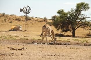 Giraffe/Girafe à Sitzas