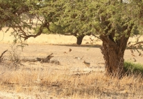 Namaqua Sandgrouse/Ganga namaquois + Jackal