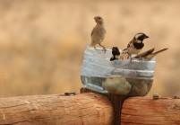 Cape Sparrow/Moineau mélanure