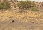 Gnou+Oryx