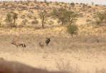 Oryx/Kudu/Gnou