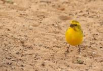 Yellow Canary/Serin de Sainte-Hélène