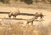Oryx+Hyène tachetée