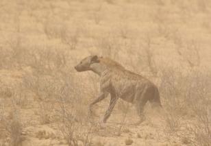 Spotted Hyena/Hyène tachetée