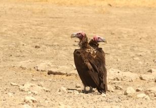Lappet-faced Vulture/Vautour Oricou